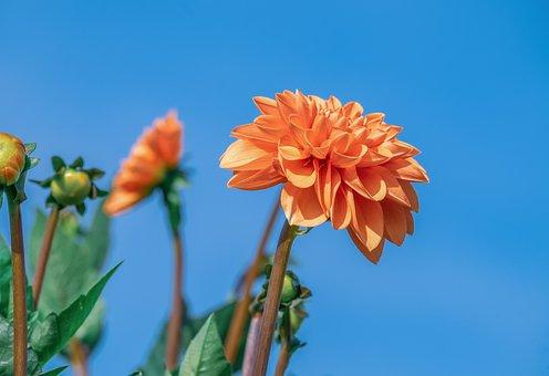 Dahlia, Flower, Blossom, Bloom, Orange, Petals, Flora