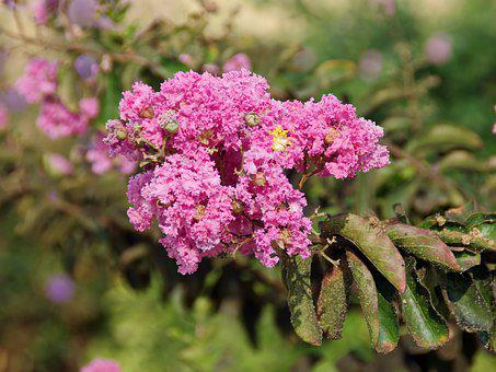 Lagerstroemia Indica, Lythracées, Shrub, Pink, Flower