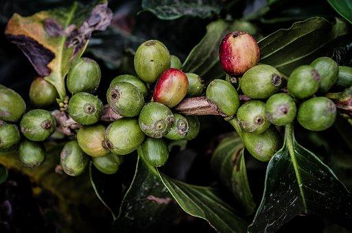Coffee, Plant, Nature, Raw, Green, Leaf, Harvest, Food