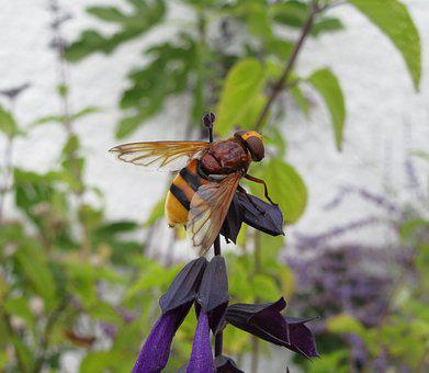 Hoverfly, Hornet Hoverfly, Salvia, Insect, Pollination