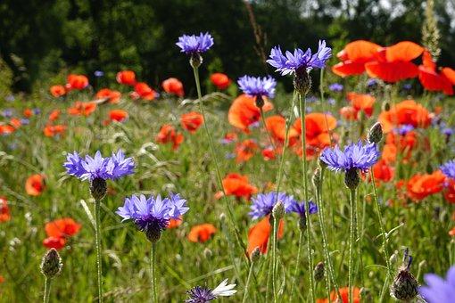 Summer, Flower Meadow, Poppies, Cornflower, Poppy, Blue