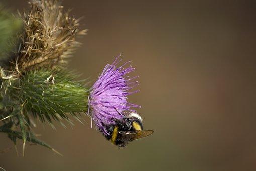 Plant, Thistle, Cirsium, Flower, Vulgare, Spear, Purple