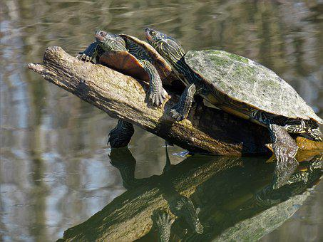 Turtles, Two, Sunning, Together, Water, Reflections