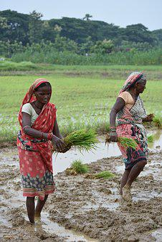 Asia, Rice, Farmer, Women, Odisha