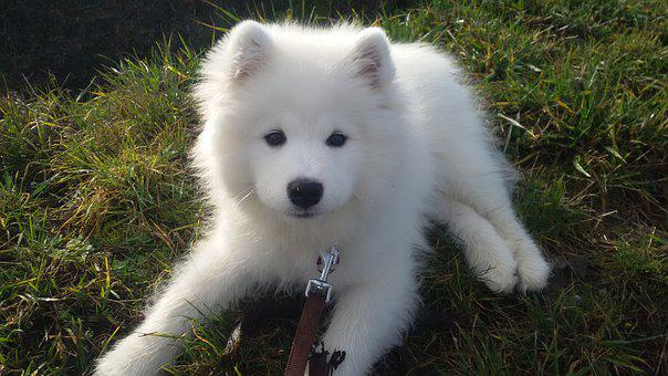 Dog, Puppy, Samoyed, Pet, Animal, Animal Portrait, Race
