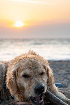 Sun, Dog, Sunset, Golden Retriever, Summer, Puppy