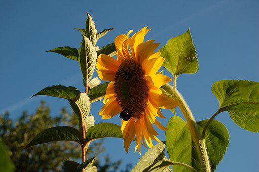 Sunflower, Yellow Flower, Blue Sky, Late Summer