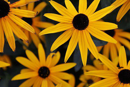 The Petals, Flora, Rudbekia, Blooming, Floral, Yellow