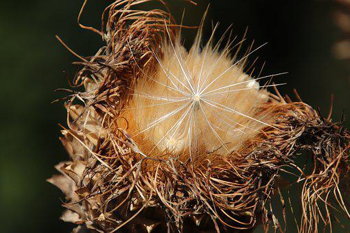 Artichokes, Seeds Of Artichokes, Luminary, Withered