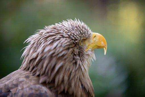Adler, Animal, Bird, Nature, Feather, Plumage, Close Up