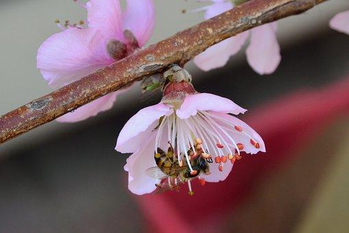 African, Honey Bee, Apis Mellifera, Scutellata, Fruit