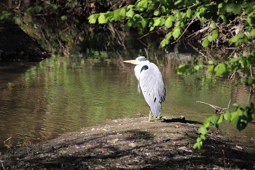 Herons, Birds, River, Nature, Plumage, Water, Feathers