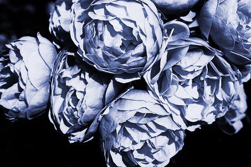 Roses, Blue, Rose, Flower, Decor, Petals, Blossom