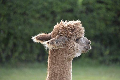 Alpacas, Animal, Ears Alpacas, Fur Brown, Brown, Wool