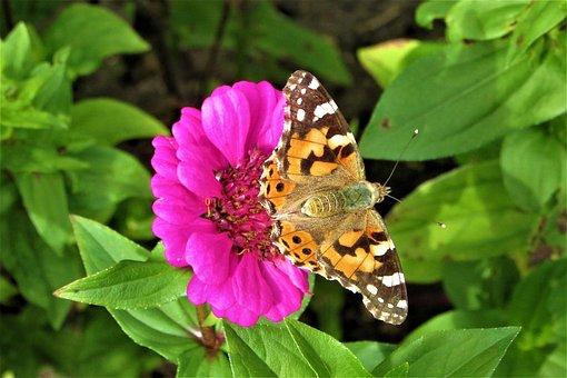 Painted Lady, Flower, Pink, Bug, Flowers, Wing, Bloom