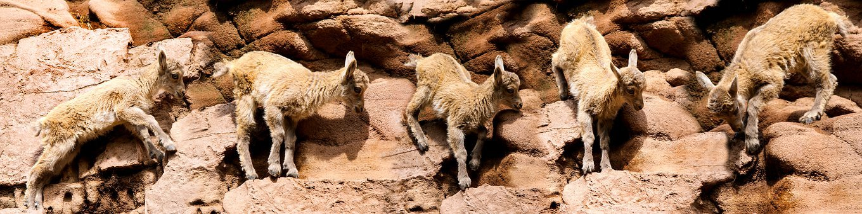 Animals, Capricorn, Mountains, Alpine, Rock, Climb