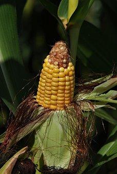 Corn On The Cob, Corn, Corn Kernels, Cereals, Yellow