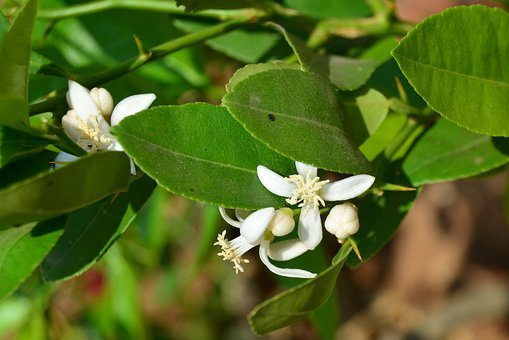 Lemon, Flowers, Pollen, Citrus Limon, Citrus, Leaf