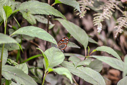 Costa Rica, Central America, Butterfly, Nature
