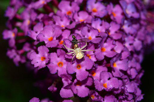 Crab Spider, Spider, Thomisidae, Fly, Buddleja Davidii