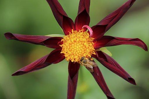 Dahlia, Dahlia Flower, Blossom, Bloom, Petals, Bloom