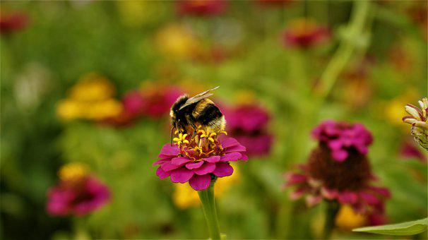 Earth Bumblebee, Flower, Pollen, Pollination, Nectar