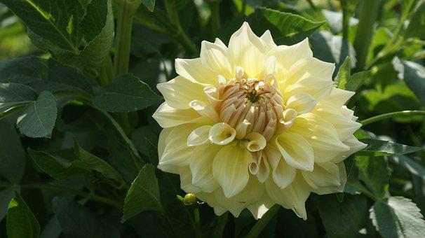Dahlia, Flower, Garden, Vegetable, Garden Plant, Petals