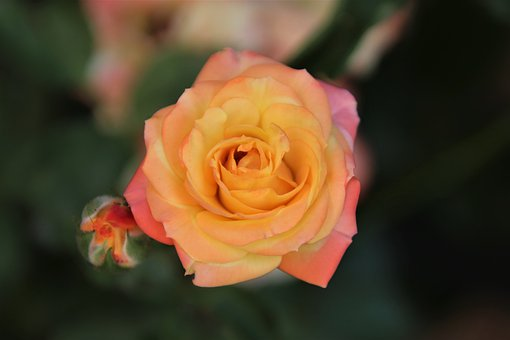 Roses, Flowering Shrubs, Color Apricot, Fringed Pink