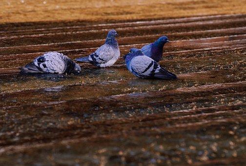 Pigeons, Water, Refresh, Swim, Group, Birds, Fountain