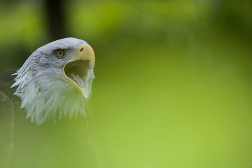 Eagle, Green, Nature, Bird, Beak, Open, Screaming