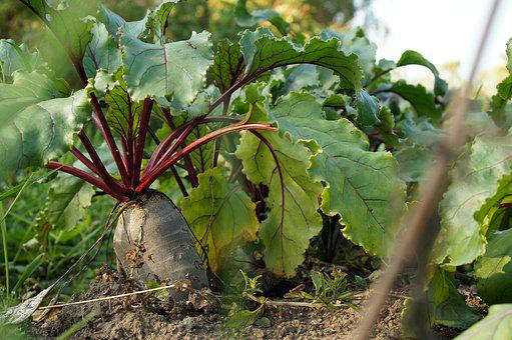 Beet, Ground, Field, Garden, Autumn, Harvest