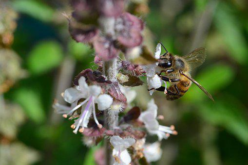 African, Honey Bee, Apis Mellifera, Scutellata, Basil
