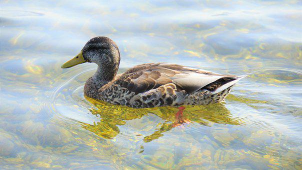 Duck, Bird, Animal, Lake Constance, Water, Duck Bird