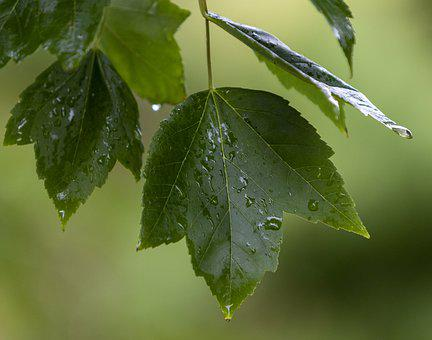 Leaf, Rain, Nature, Leaves, Green, Wet, Plant, Water