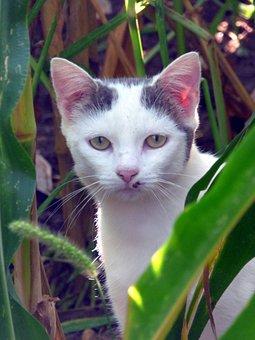 Cat, Animal, Eyes, Portrait, Head, Mammals, Corn