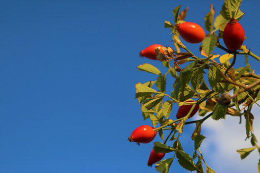 Rosehip, Nature, Fruit, Plant, Flower, Autumn, Tree