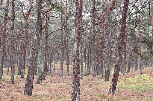 Forest, Pine, Nature, Trees, Landscape, Nature Reserve