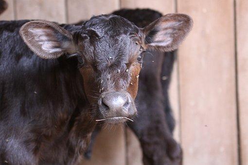 Calf, Angus, Farm, Pasture, Cattle, Bull, Animal