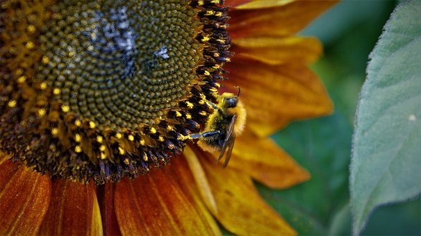 Sunflower, Common Carder Bee, Pollen, Pollination