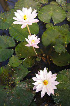 Water Lily, Pond, Blossom, Flowers, Nature, Pink, Sung