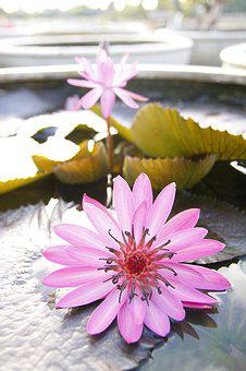 Water Lily, Sung, Pond, Pink, Nature, Flowers, Thailand