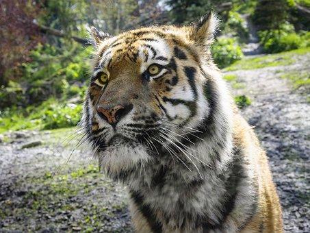 Tiger, Zoo, Predator, Animal World, Wildcat, Big Cat