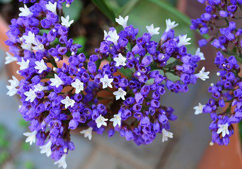 Wild, Statice, Plumbaginaceae, Purple, White, Bloom