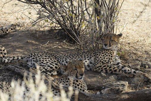Cheetah, Kenya, Samburu, Africa
