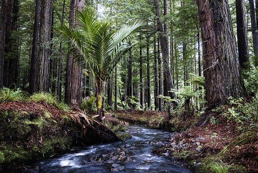 Redwoods, Stream, Landscape, Trees, Nature, New Zealand