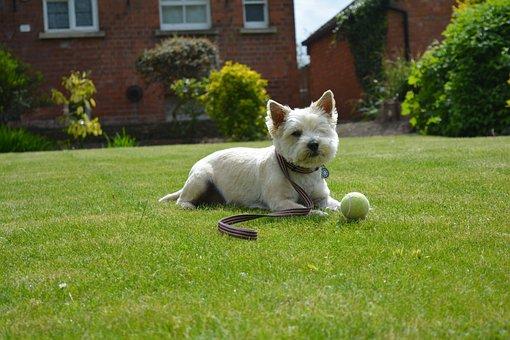 Cairn Terrier, Terrier, Dog, Summer, Garden, Grass