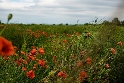 Poppy, Nature, Meadow, Red, Flower, Plant, Summer