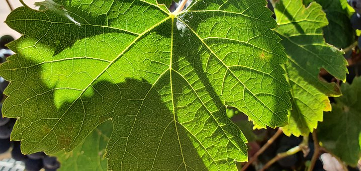 Wine, Light, Sun, Shadow, Leaf, Green, Structure