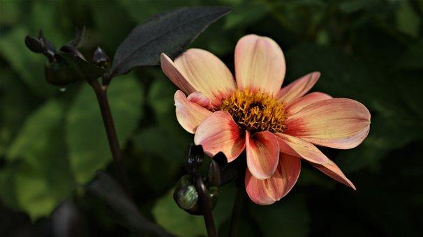 Flower, Pink, Nature, Vegetable, Flora, Garden