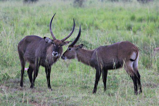 Whisper, Water Buck, Uganda, Murchison, Nature